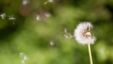 bunga dandelion yang cantik