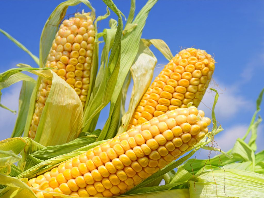 Bayam jagung