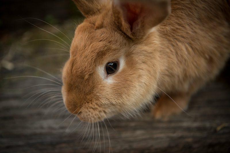 cara ternak kelinci potong